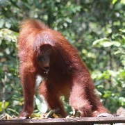 Meet the Orangoetang of Kalimantan 2