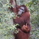 Meet the Orangoetang of Kalimantan 3