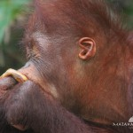 Meet the Orangoetang of Kalimantan 5